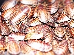 50 Large  Dubia Feeders