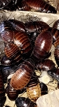 25 Mixed Size Madagascar Hissing Roaches